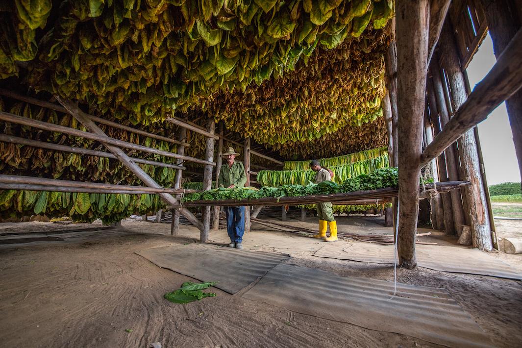 фермеры выращивающие табак, фото-3