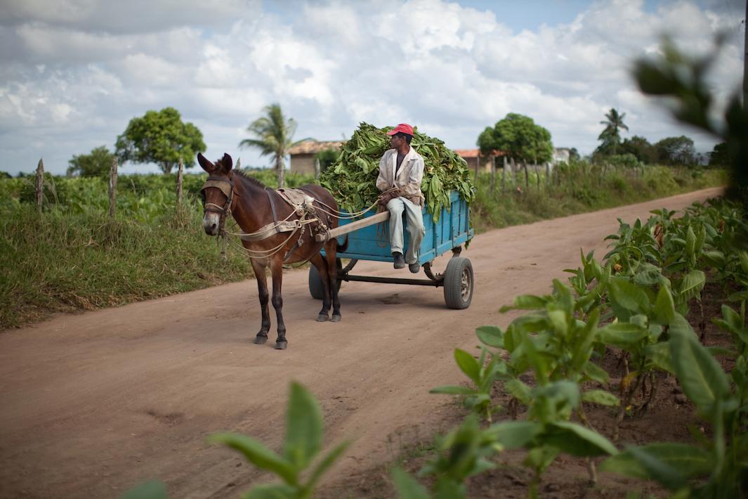 фермеры выращивающие табак, фото-4