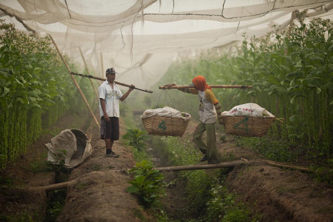 фермеры выращивающие табак, фото-5