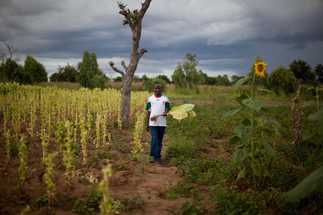 фермеры выращивающие табак, фото-7