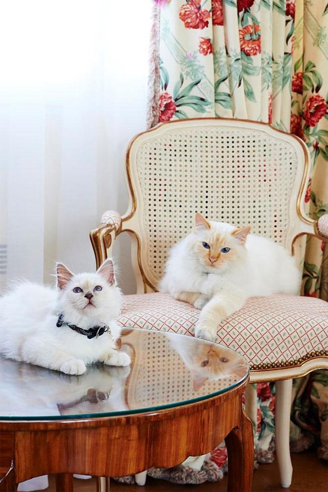 бирманская кошка, фото кошек, порода кошек-1