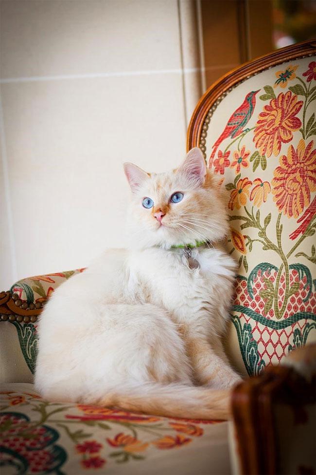бирманская кошка, фото кошек, порода кошек-2