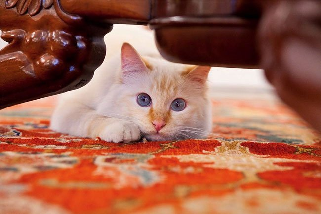 бирманская кошка, фото кошек, порода кошек-3