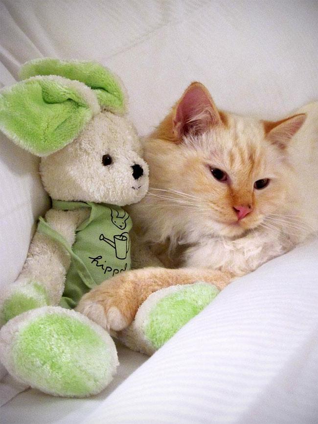 бирманская кошка, фото кошек, порода кошек-4