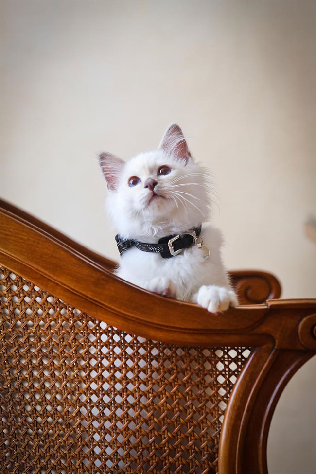 бирманская кошка, фото кошек, порода кошек-6