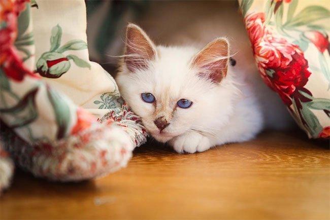 бирманская кошка, фото кошек, порода кошек-7