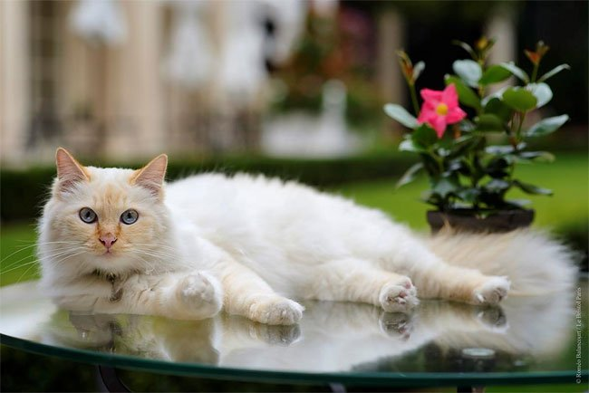 бирманская кошка, фото кошек, порода кошек-8