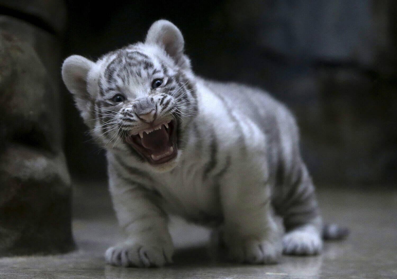 Новорожденный белый индийский тигренок.
