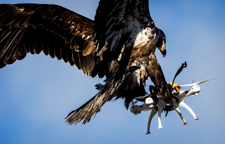 Орел хватает дрон в ходе полицейских учений .