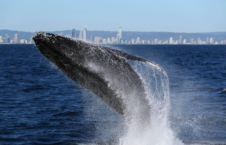 Прыжок горбатого кита в Австралии.