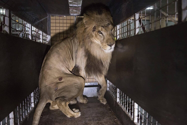 Мобильный вольер, перевозящий одного из 33 львов, спасенных из цирков в Перу и Колумбии,
