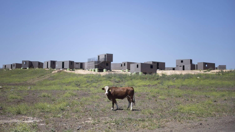 Корова пасется на военном полигоне.