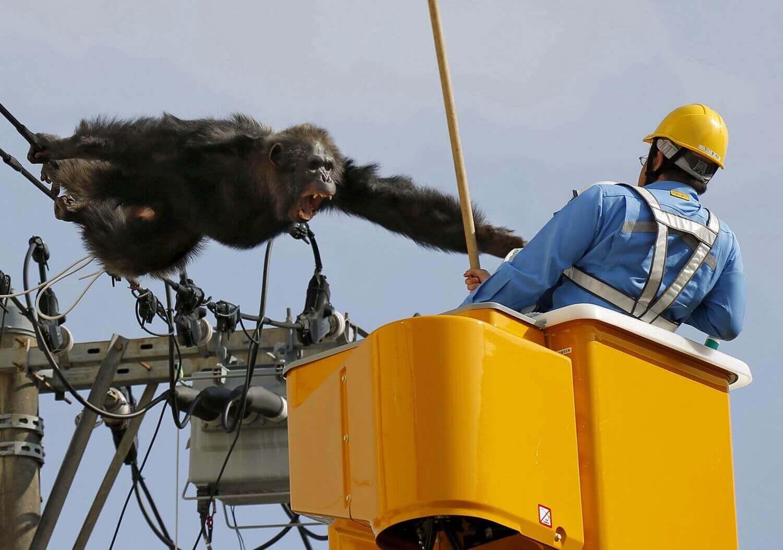 Самец шимпанзе Чача после побега из зоопарка Ягияма.