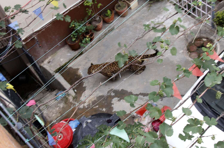 Дикий леопард в жилом районе города Кулешвор.