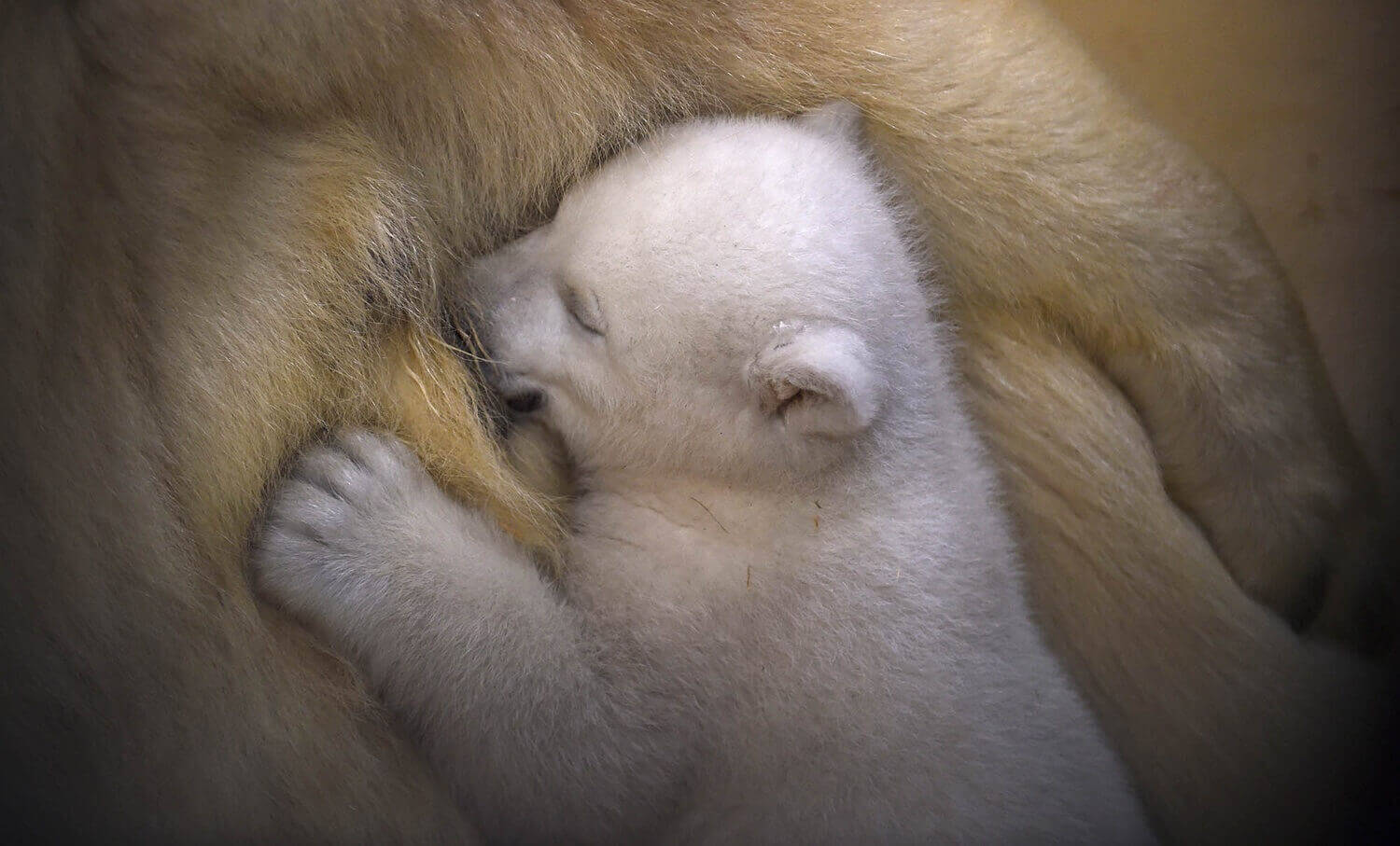 Полярный медвежонок прижимается к сврей матери Валеске.