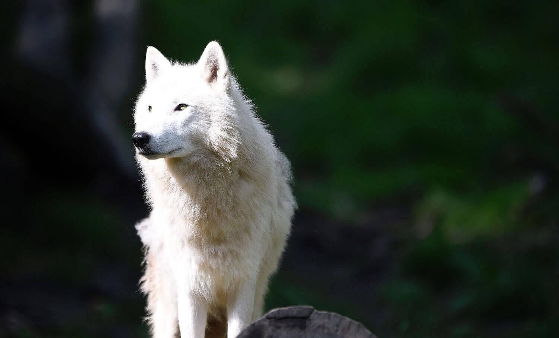 полярный волк в парке животных, на острове Родос, Франция.