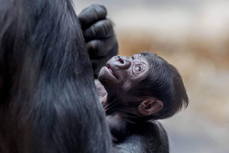 горилла, держит своего пятидневного сына в вольере Пражского зоопарка
