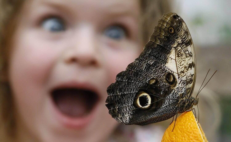 Саммер Шариф смотрит на бабочку Калиго, питающуюся апельсином.