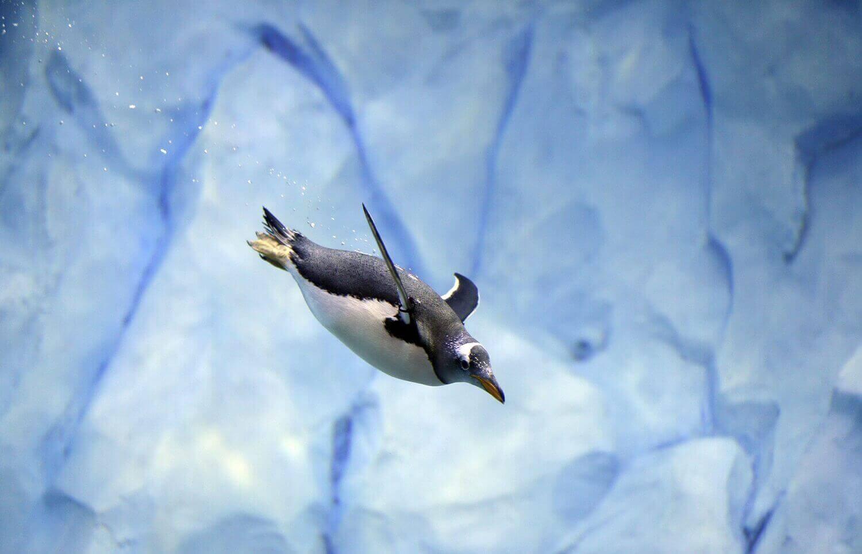 Пингвин купается в новом подразделении зоопарка Детройта.