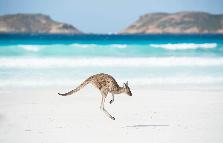 Кенгуру на пляже Счастливой Бухты, расположенной на южном побережье Западной Австралии