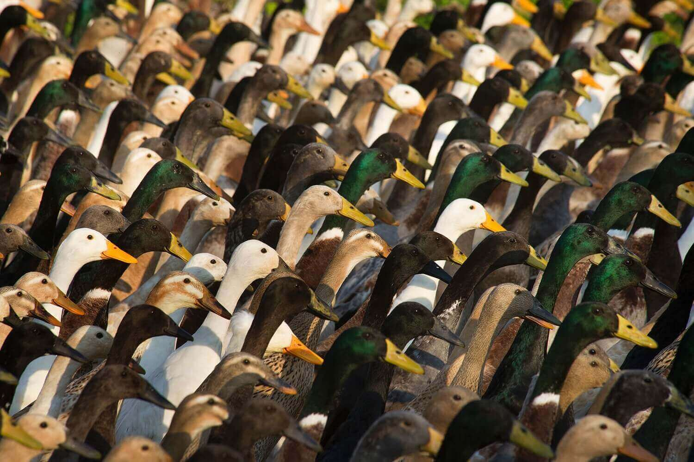 дрессированная стая гусей, состоящая из около 1000 уток.