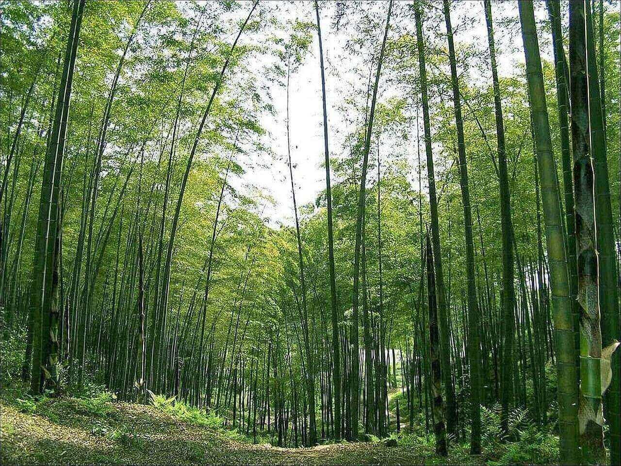 Лощина черного бамбука. Китай