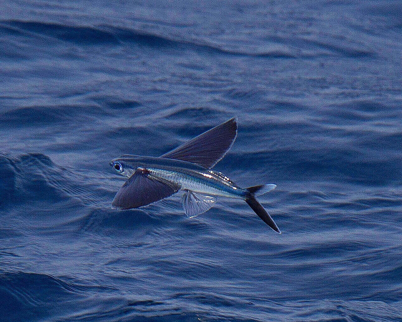 Летучая рыба