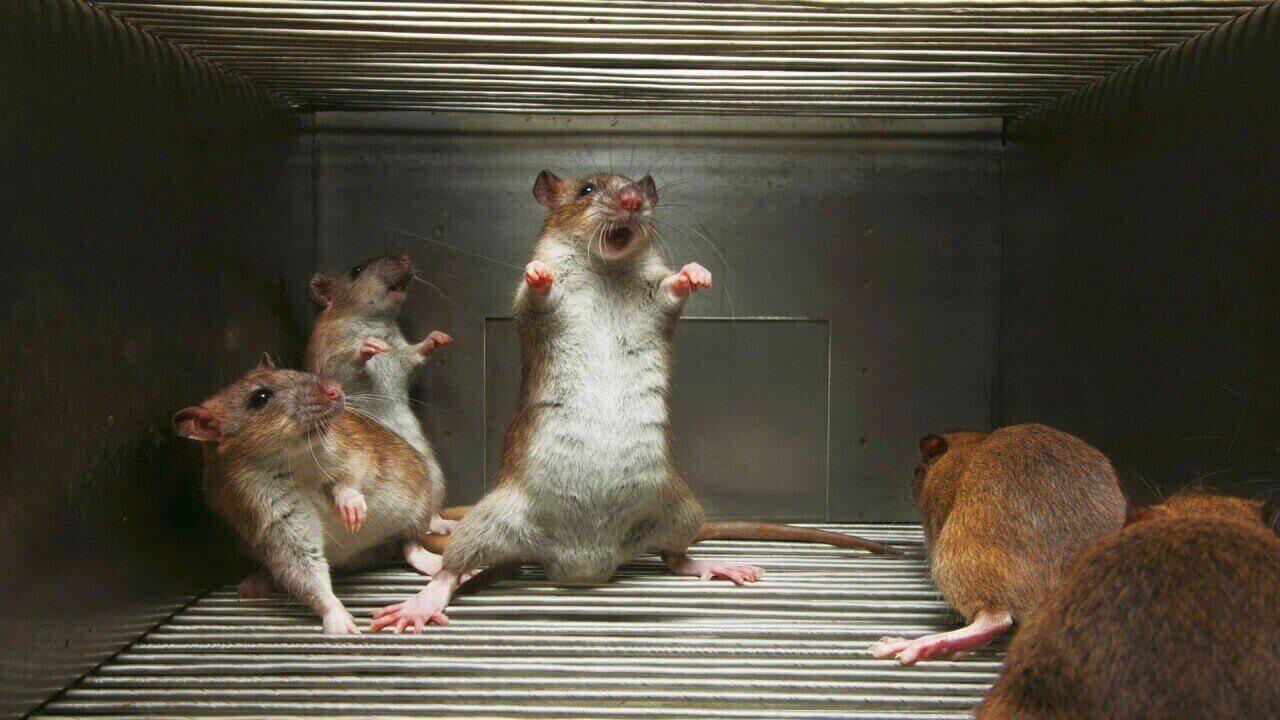 Пытка крысами