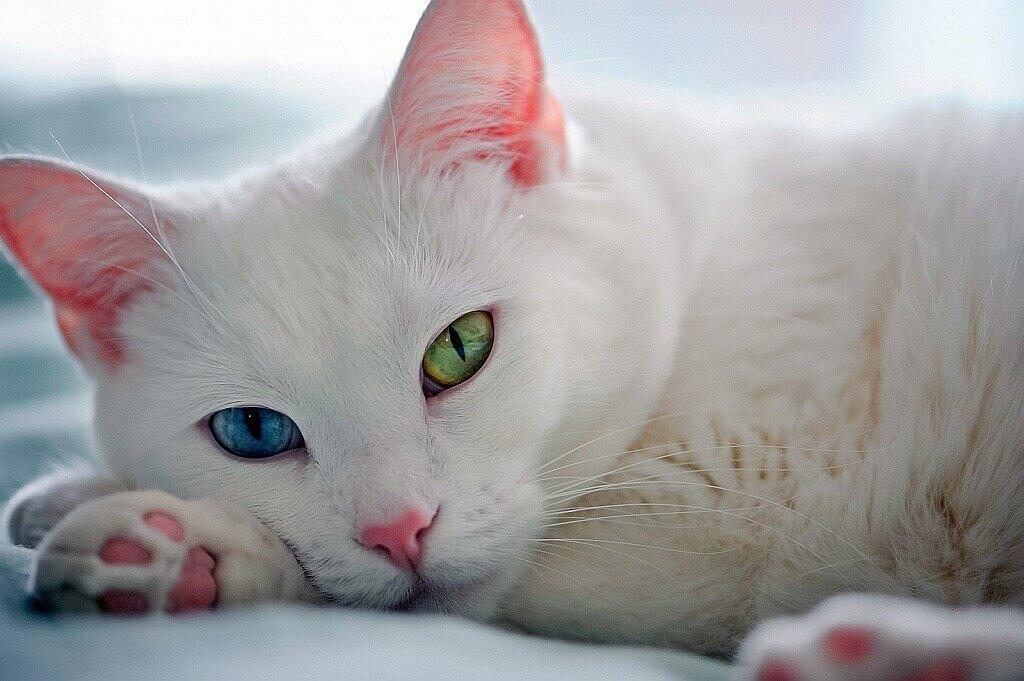 Гетерохромия, разноцветные глаза