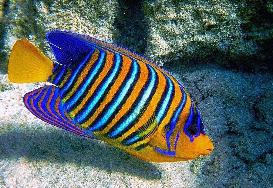 Рыба-ангел
