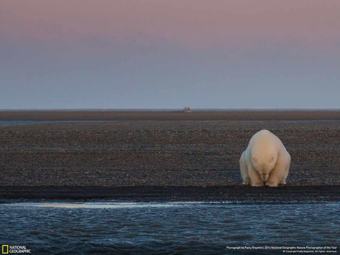 Одинокий медведь на берегу Бартер-Айленда штат Аляска