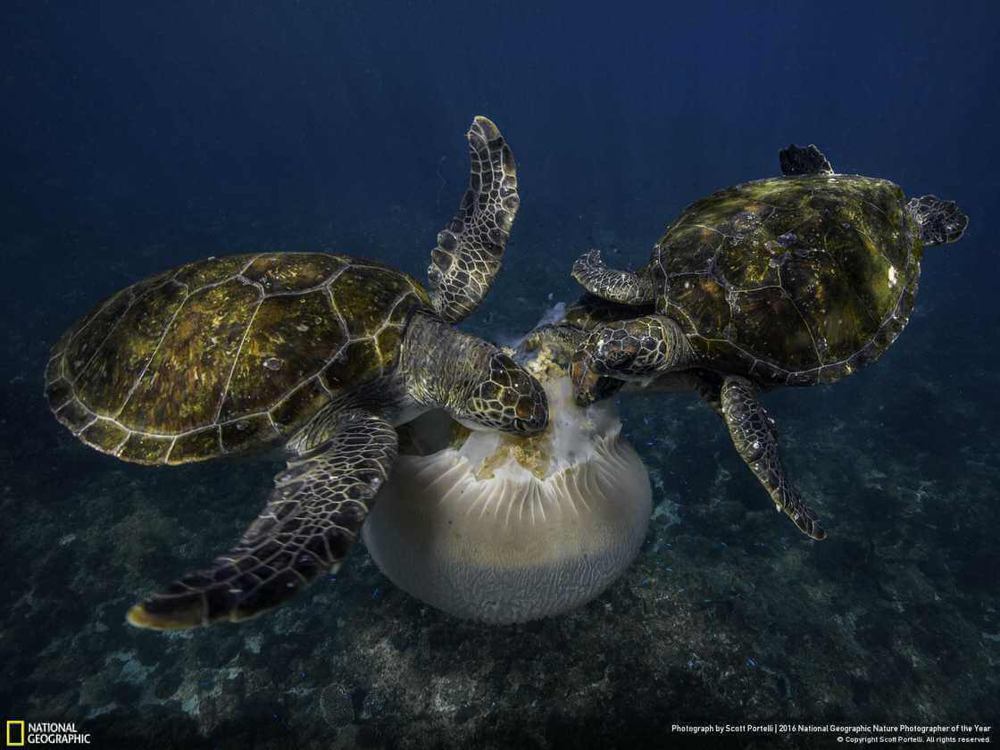 черепаху, поедающую медузу
