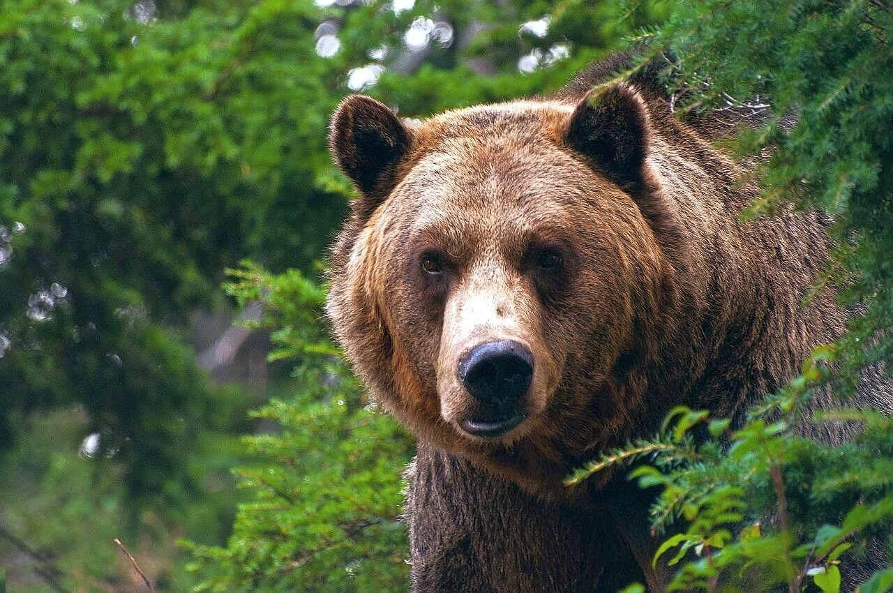 интересные факты о медведе