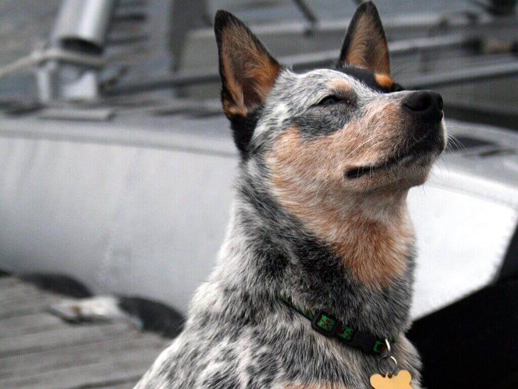 Австралийская пастушья собака.