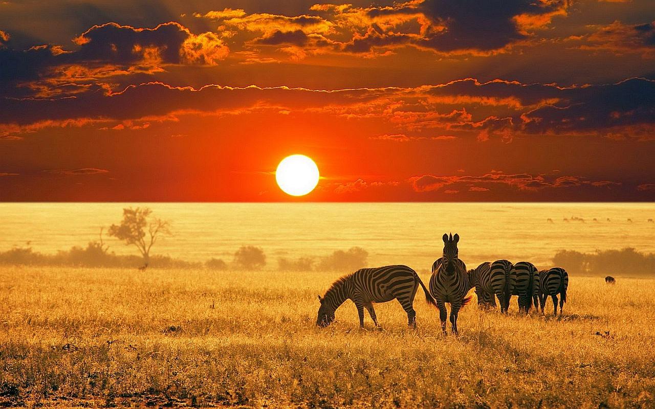 зебра в саванны Африки.