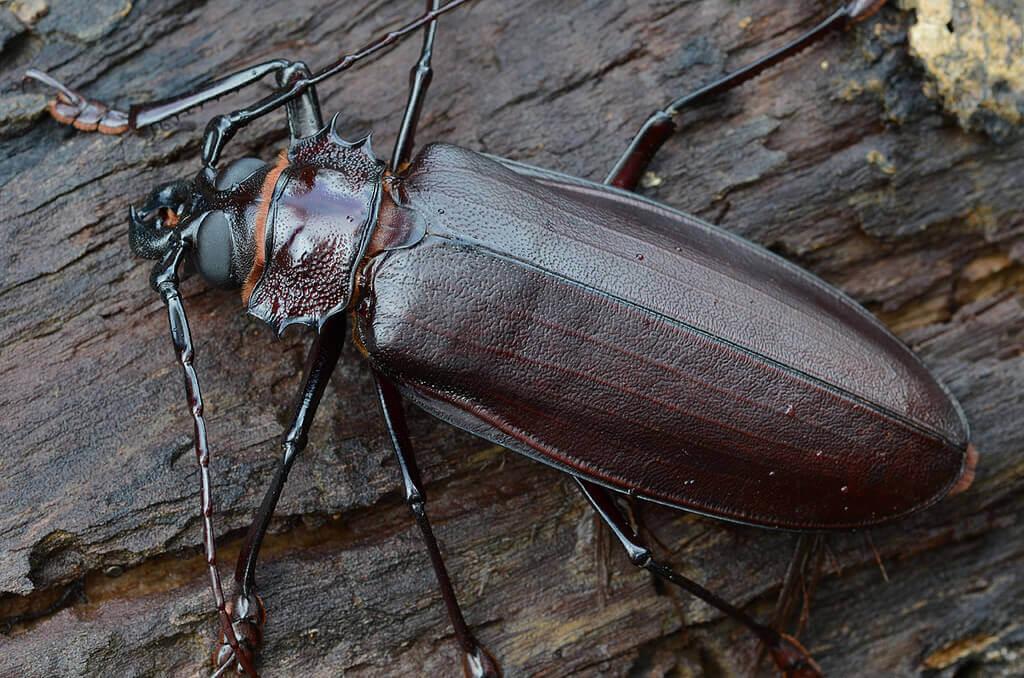 дровосек-титан: факт о жуке