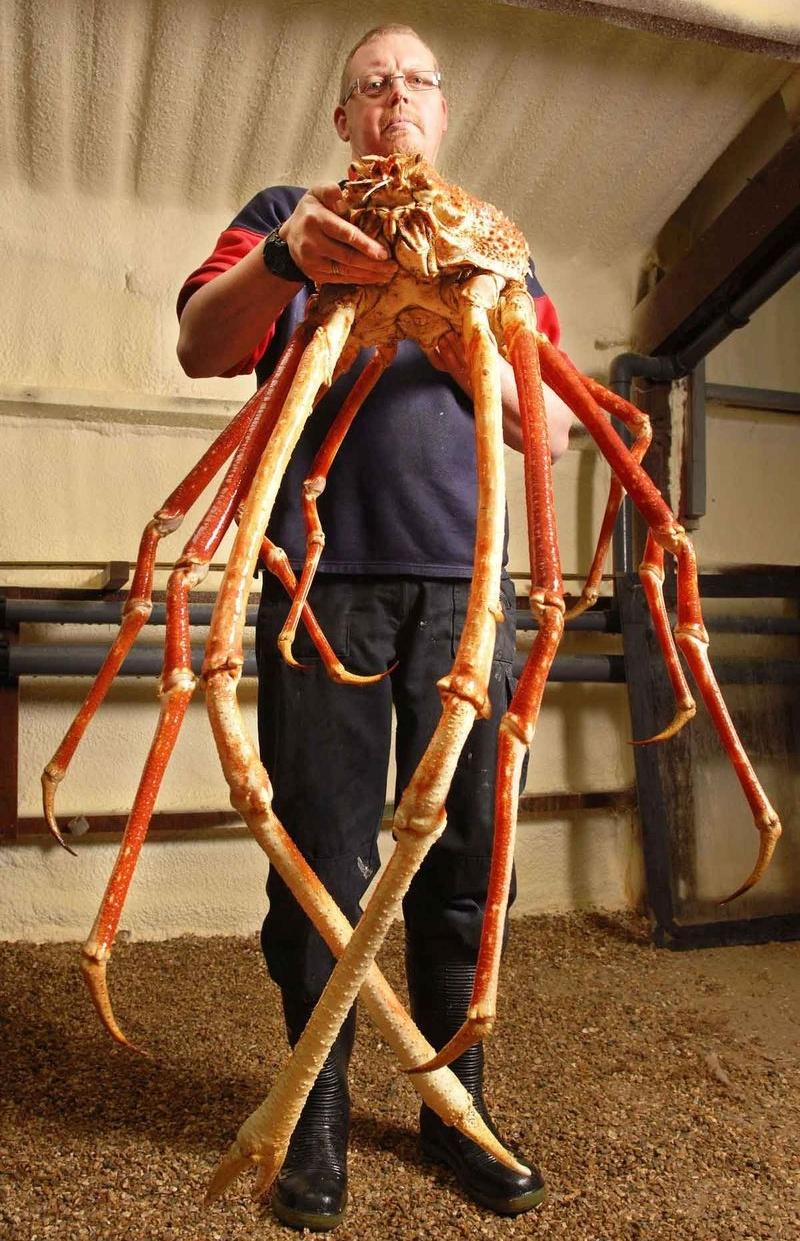 Macrocheira kaempfen - гигантский морской паук