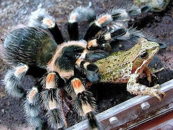 паук Терафоза Блонда
