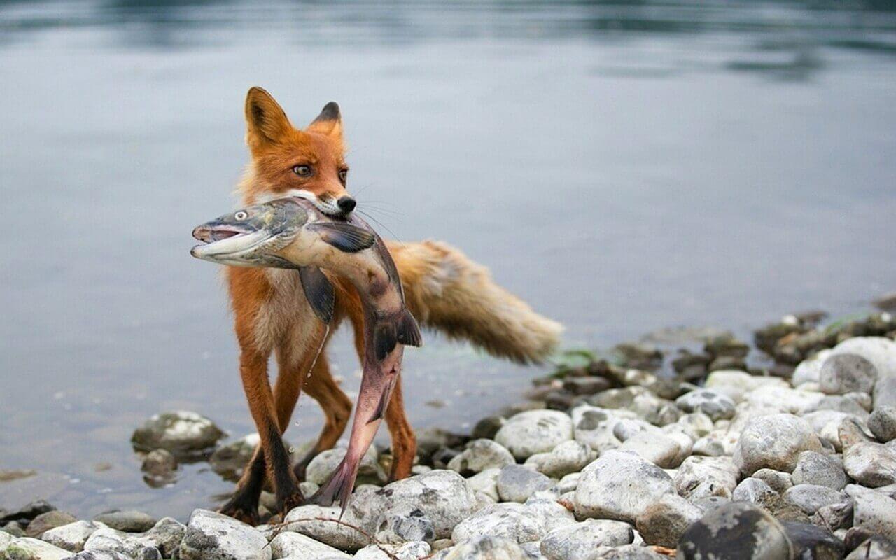 лиса ловит рыбу