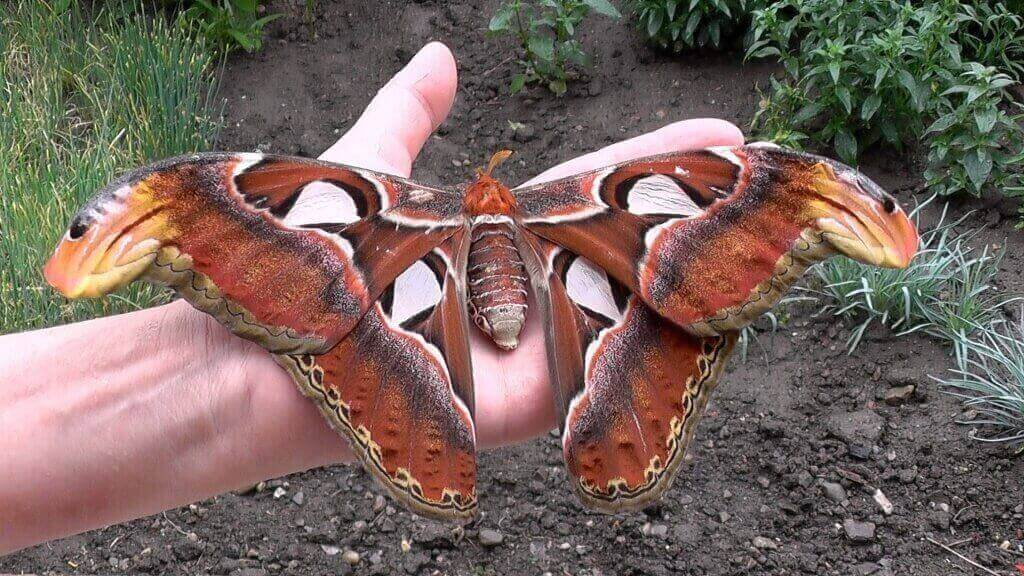 Attacus atlas ( Павлиноглазка атлас )