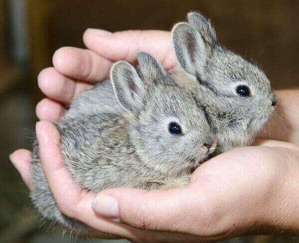 кролики Little Idaho