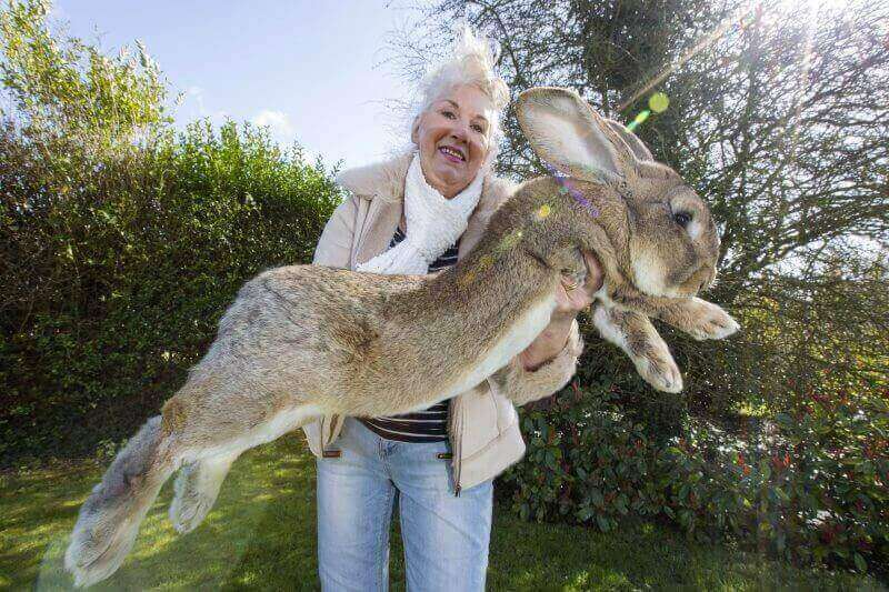 Самый большой в мире кролик