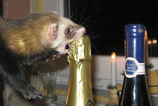 Фольга вокруг горлышка шампанского является защитой от грызунов,