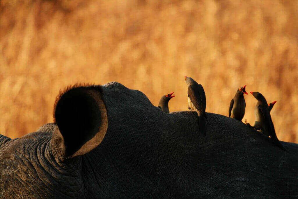 уши носорога