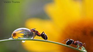 макросъемка муравьев
