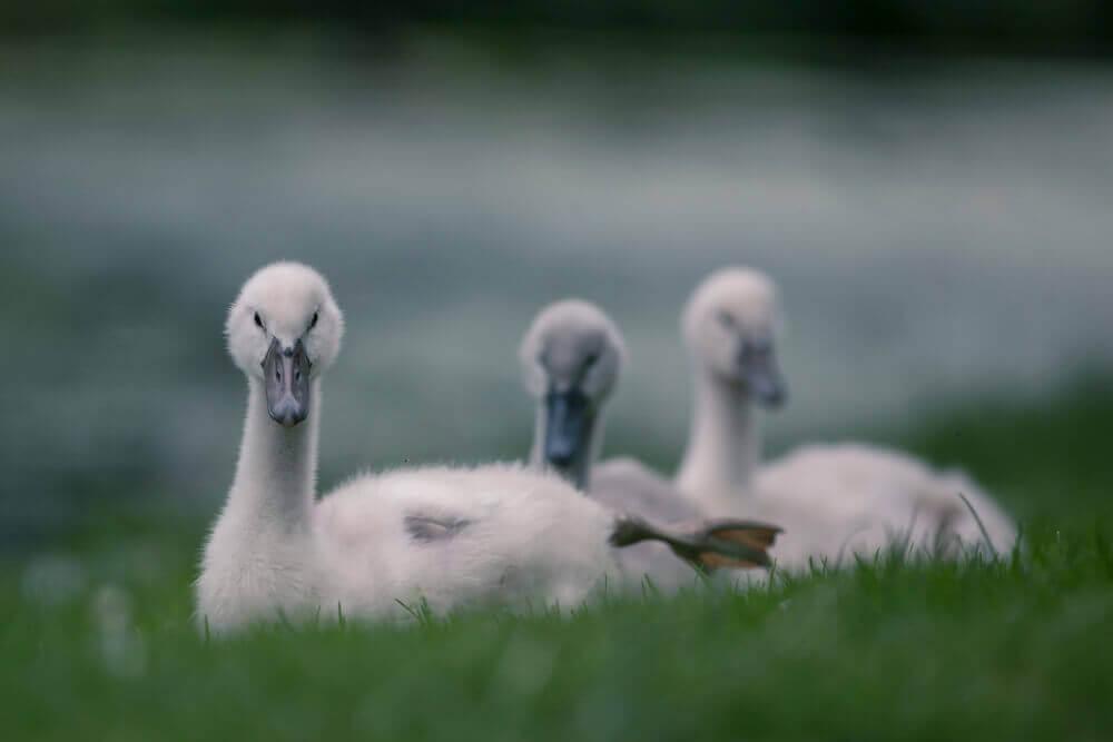 Лебеди от фотографа Джейкоба Картейна