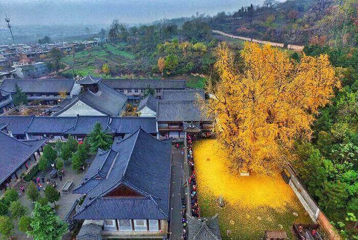 Древнее 1400-летнее дерево гинкго