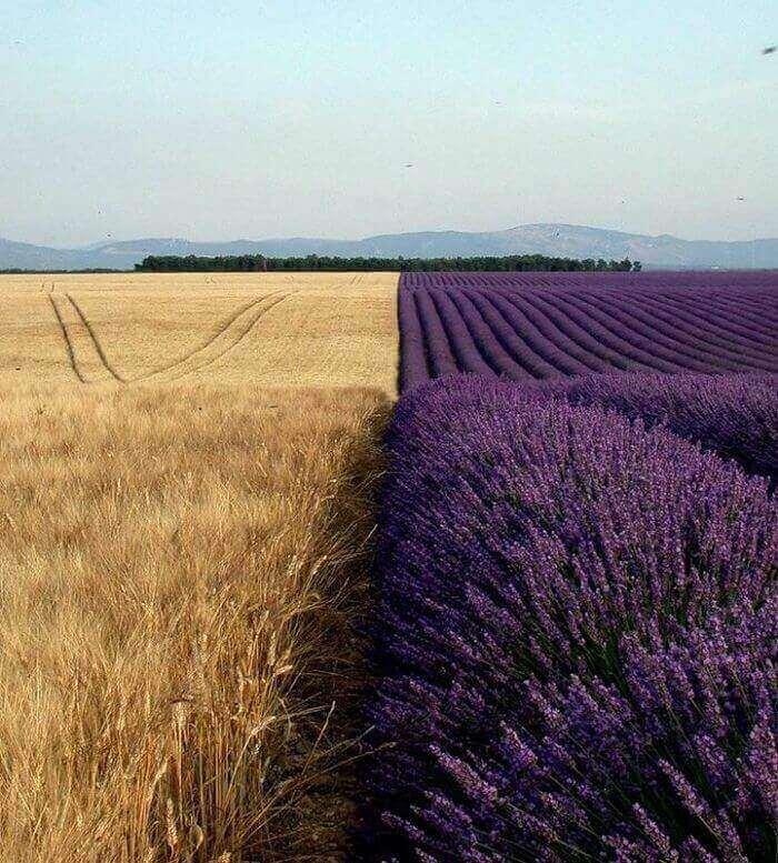 Пшеничное поле по соседству с лавандовым