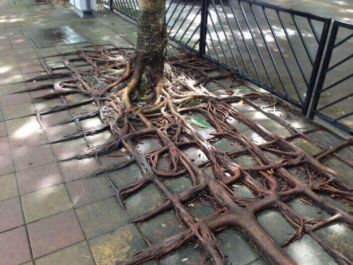 Корни, ползущие по периметру плиток тротуара