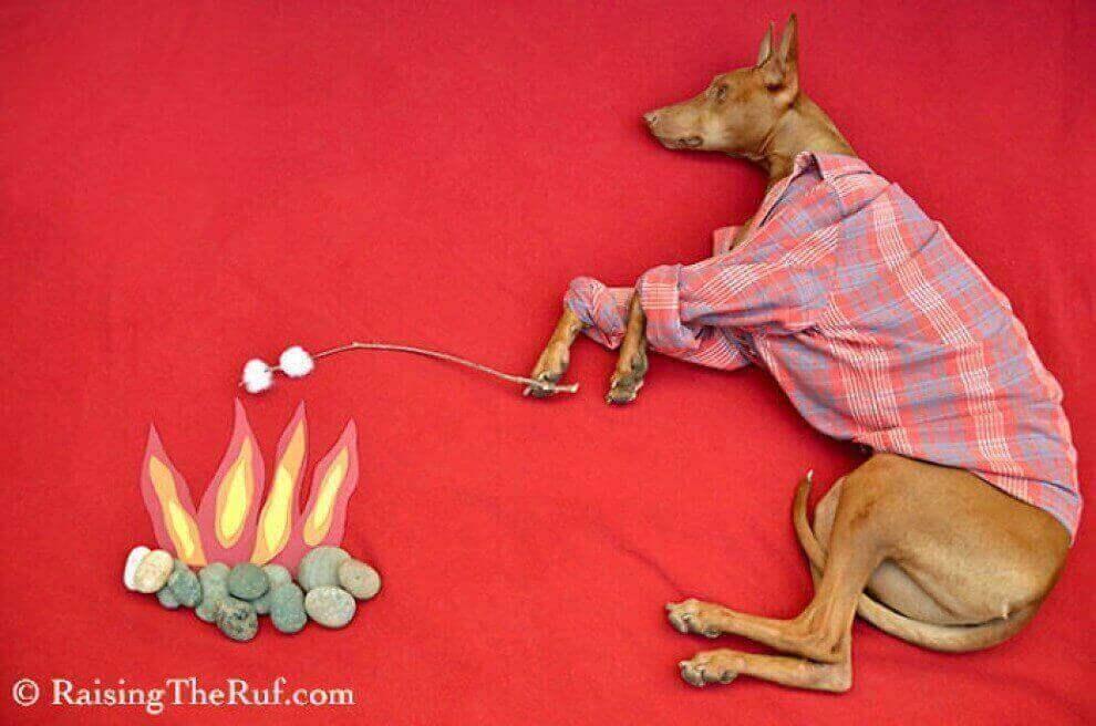Руфус собака гулящая во сне
